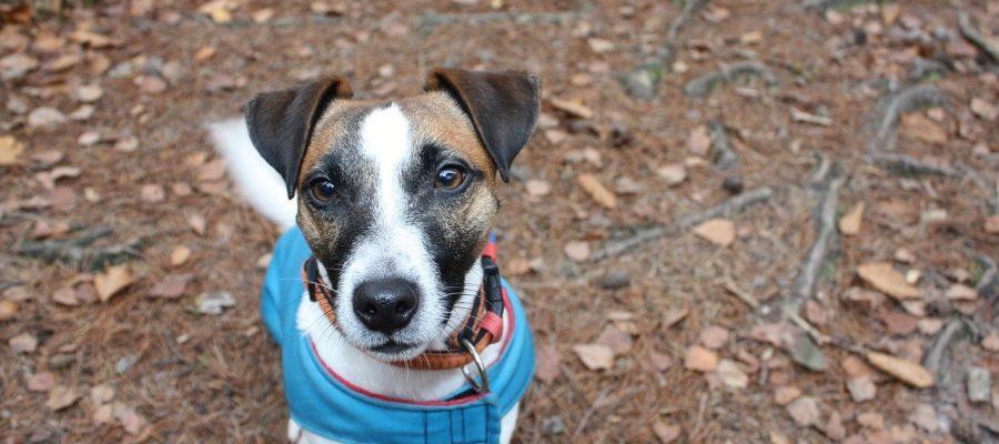 Jak oduczyć psa szczekania? Obroża to jeden ze sposobów